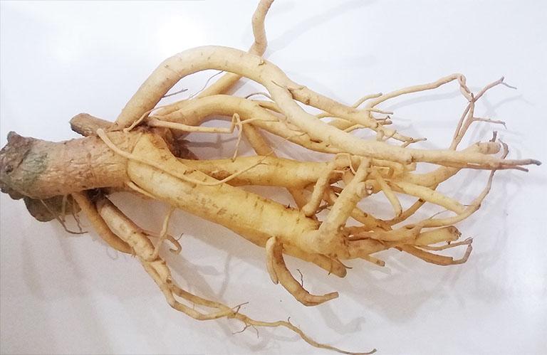 Bài thuốc dân gian chữa thoái hóa khớp gối từ rễ cây đinh lăng
